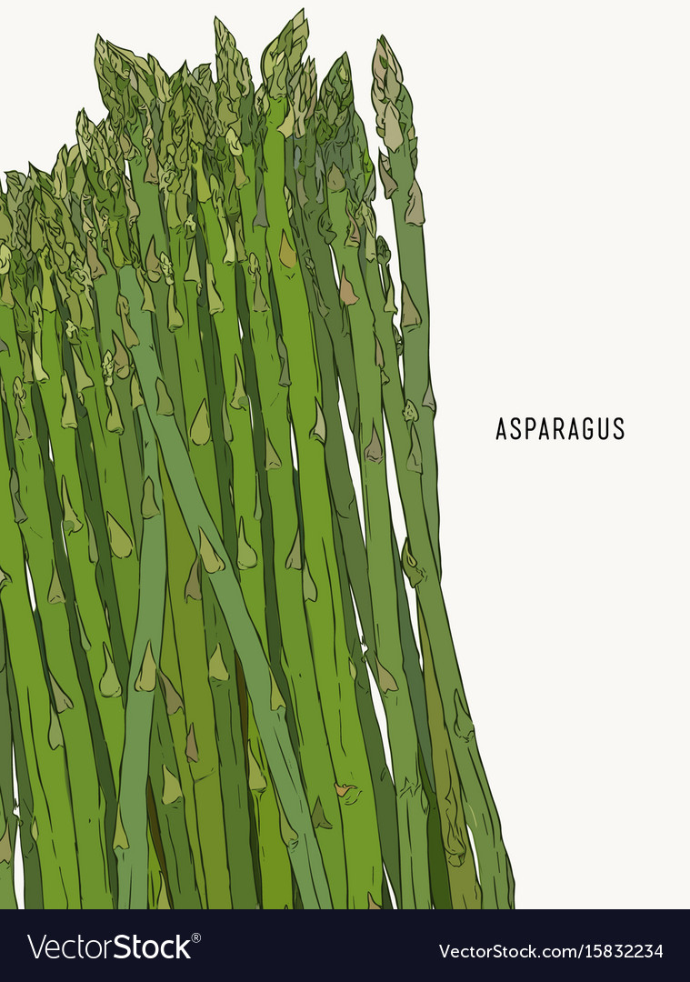 Asparagus vegetable stem isolated sketch bunch of
