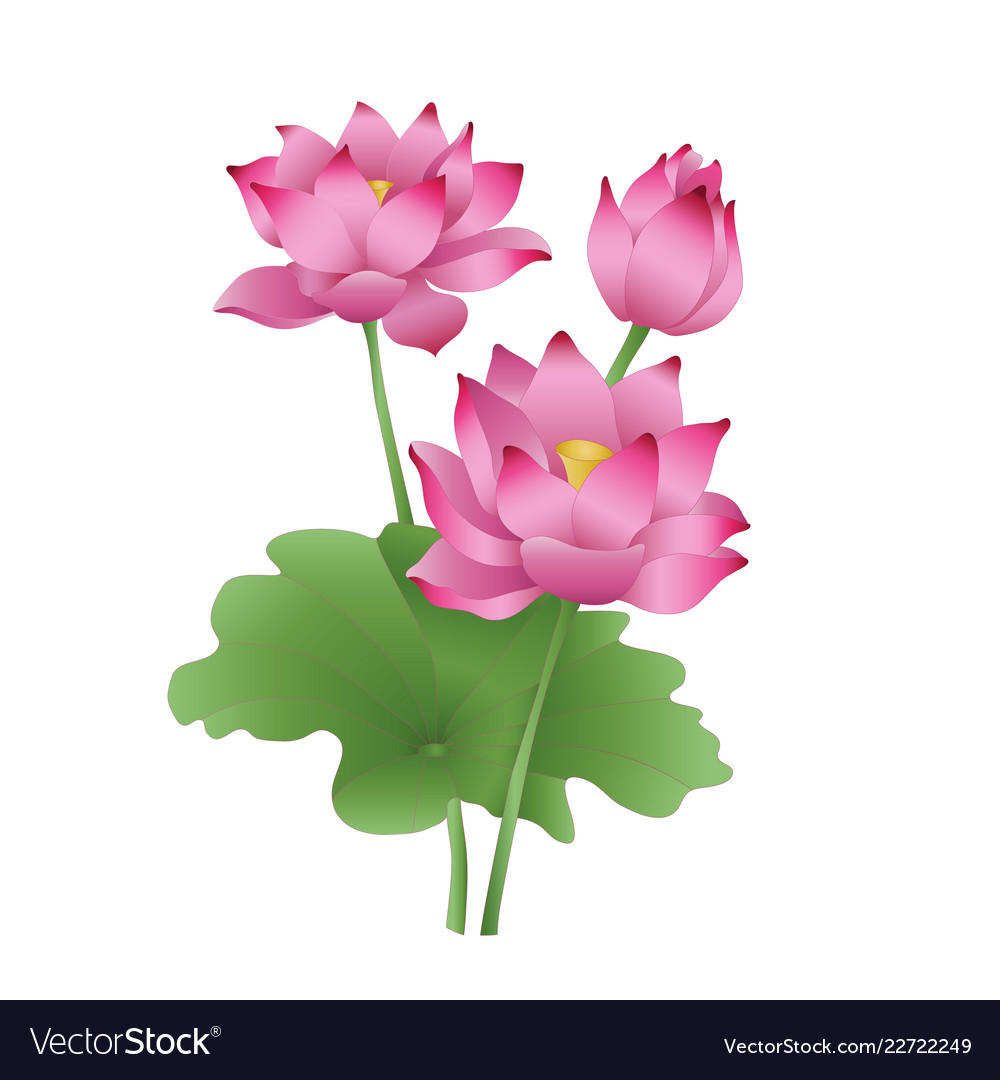 Lotus Flowers On A White Background The Stages Of Vector Image