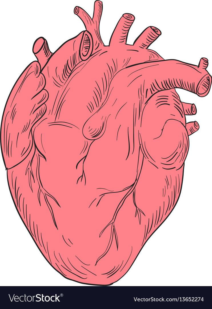 Human heart anatomy drawing Royalty Free Vector Image