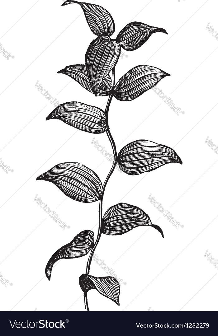 Asparagus Fern vintage engraving