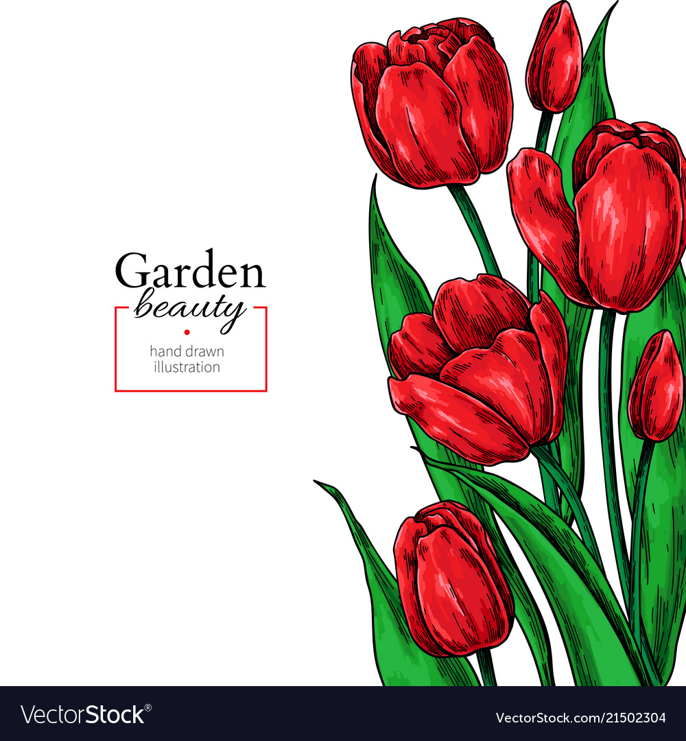 Tulip flower and leaves drawing border Royalty Free Vector