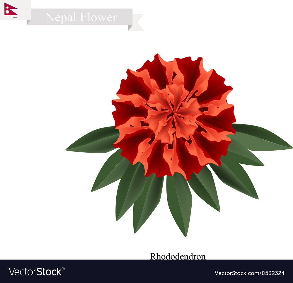 Tulip Flowers The National Flower Of Nepal Vector Image