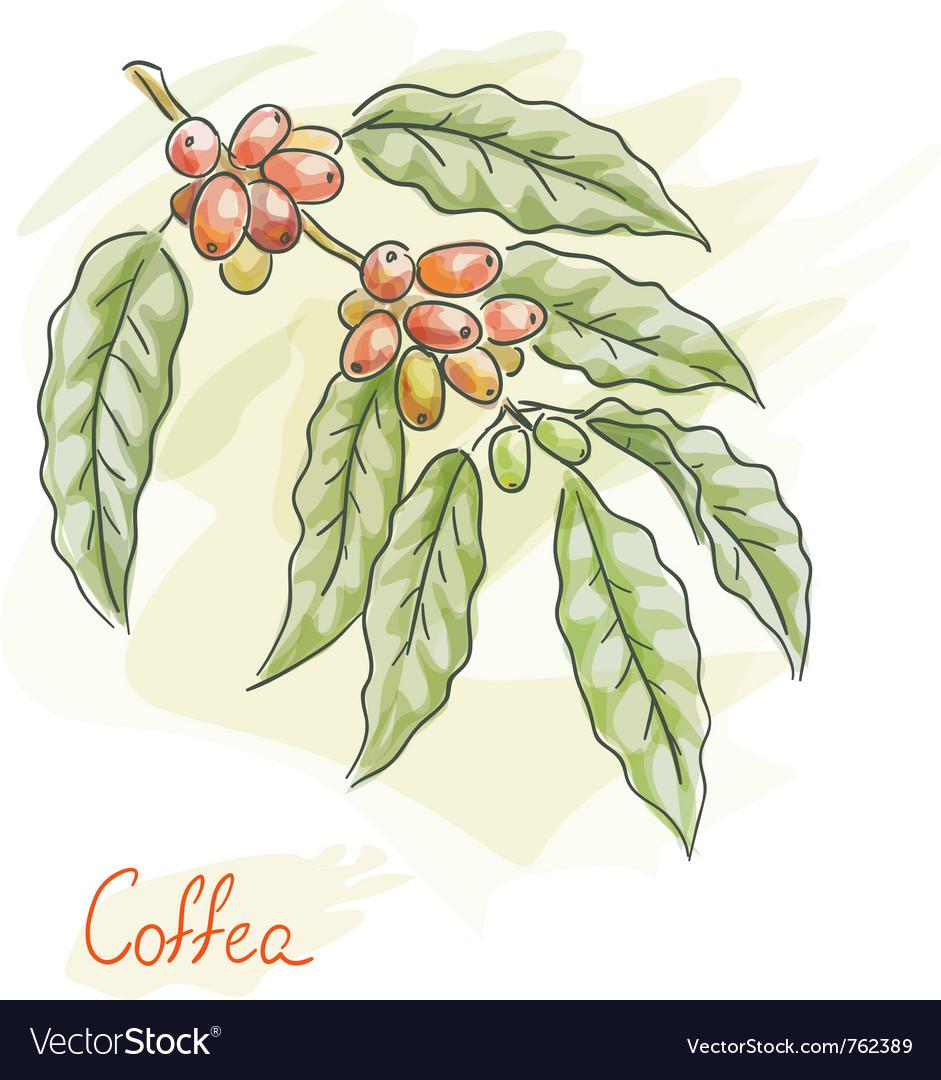 Twig of coffea vector image