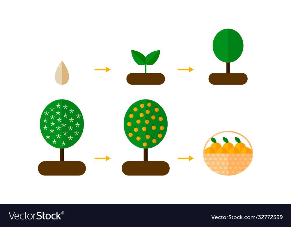 Orange Tree Growth Stages Vector Images (21)VectorStock