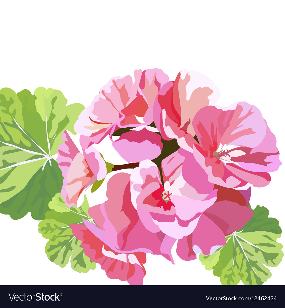 Delicate Pink Geranium Flowers Royalty Free Vector Image