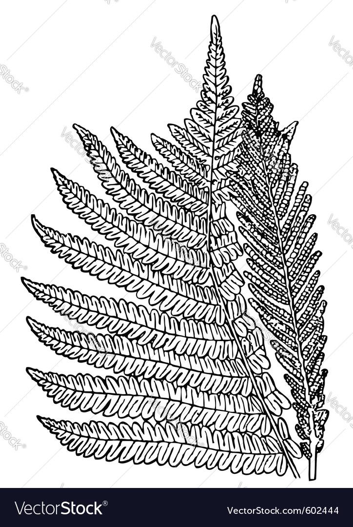 Plant onoclea struthiopteris