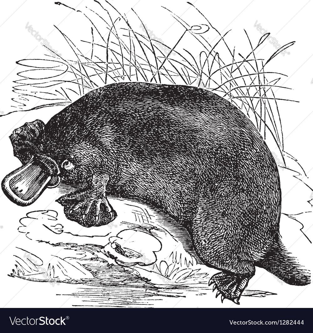 Platypus vintage engraving vector image