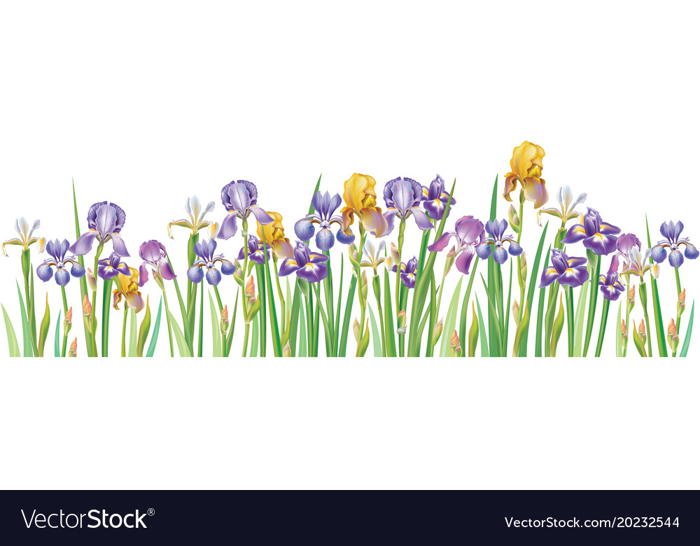 Border with multicolor irises