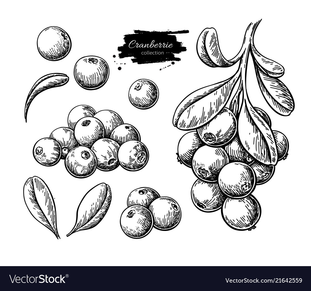 Cranberry drawing isolated berry branch