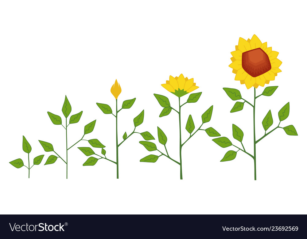 Sunflower plant growth stages concept
