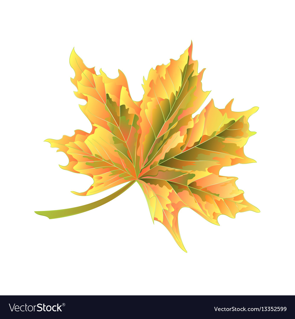 Colored autumnal leaf maple on a white background vector image