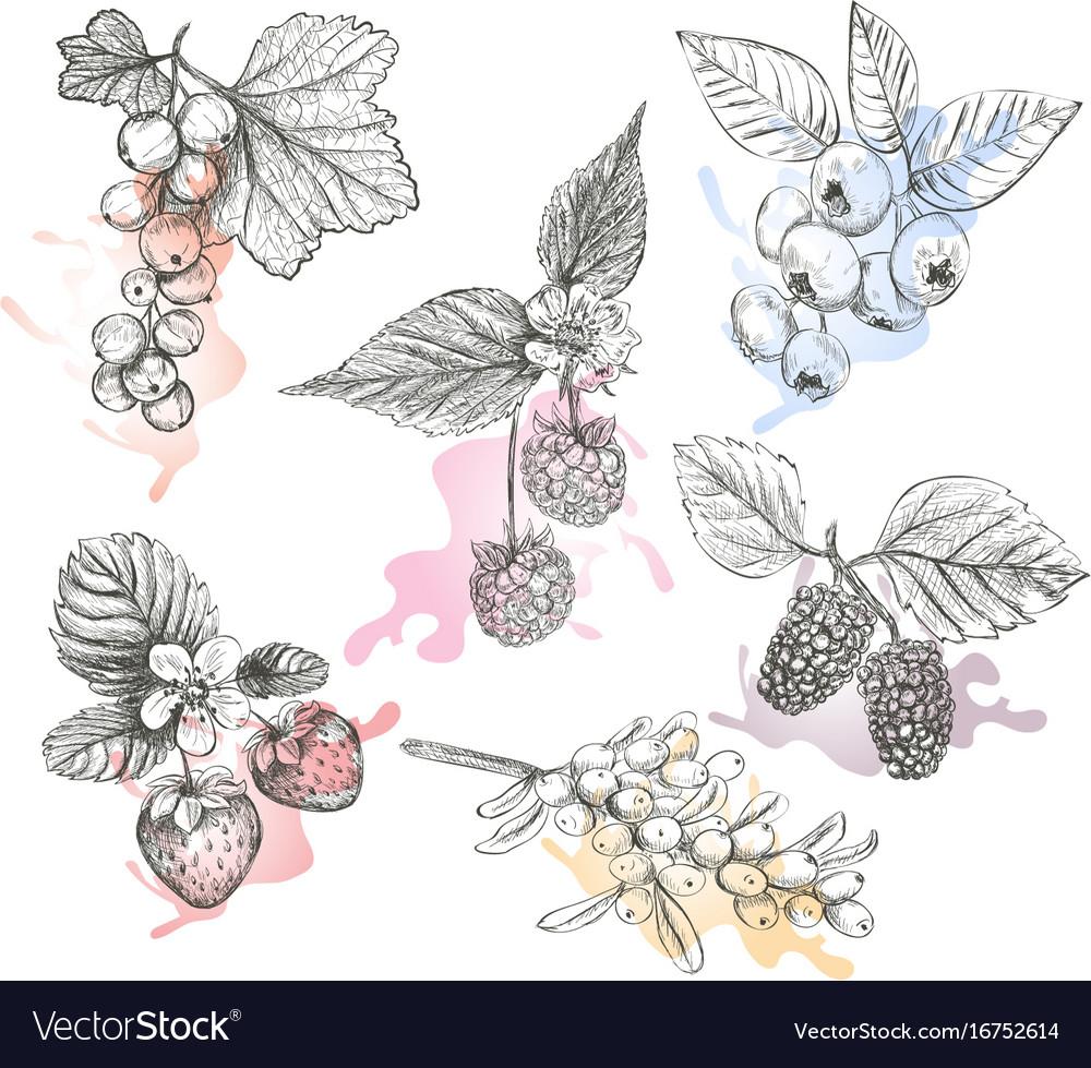Sketch berries set