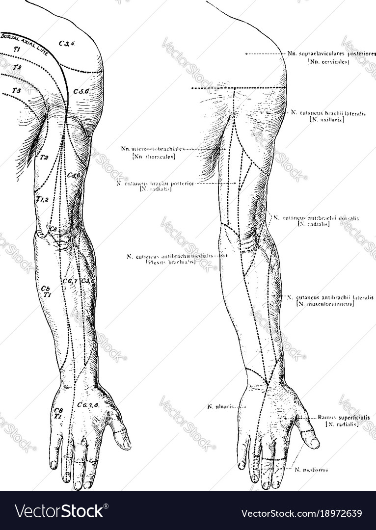 Cutaneous Nerves Of The Back Of The Arm Vintage Vector Image