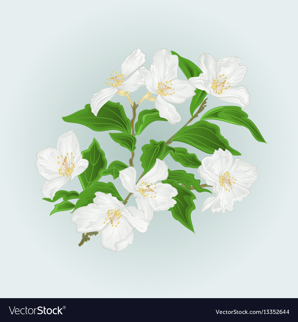 Flower Jasmine Branch Isolated On Blue Background Vector Image