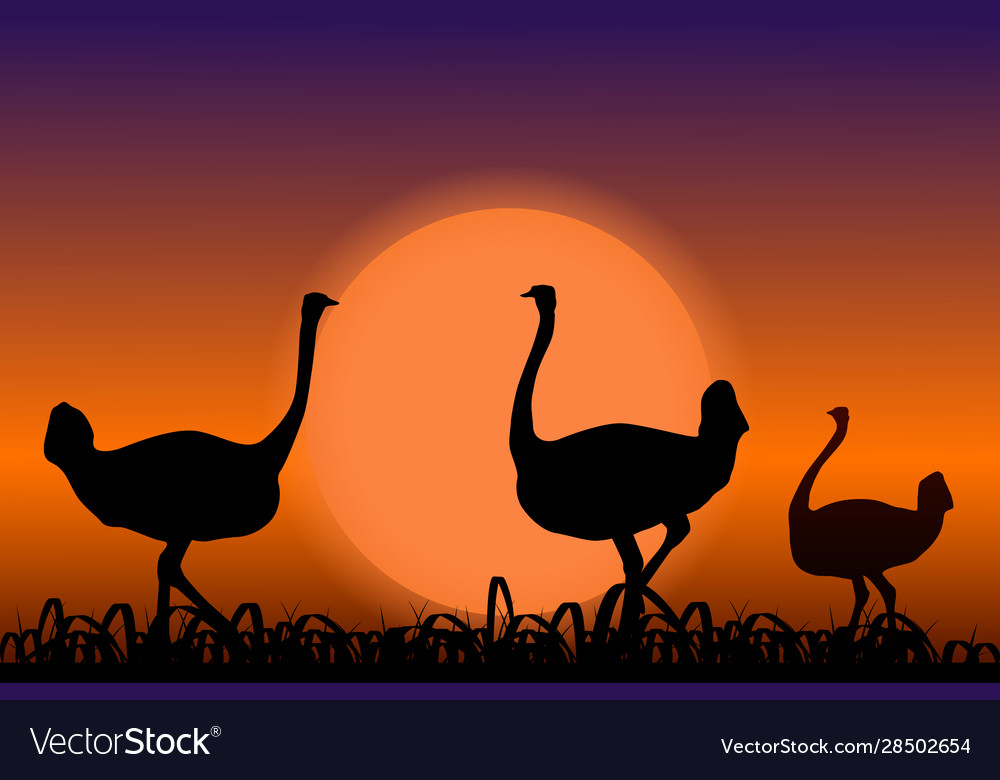 Ostriches in africa black silhouettes on sunset