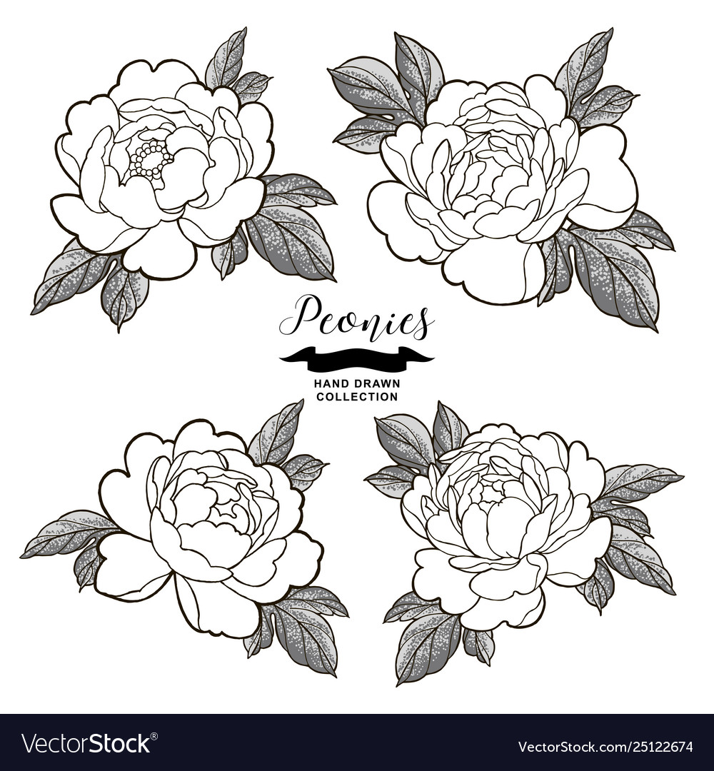 Peony flowers outlines hand drawn flowers