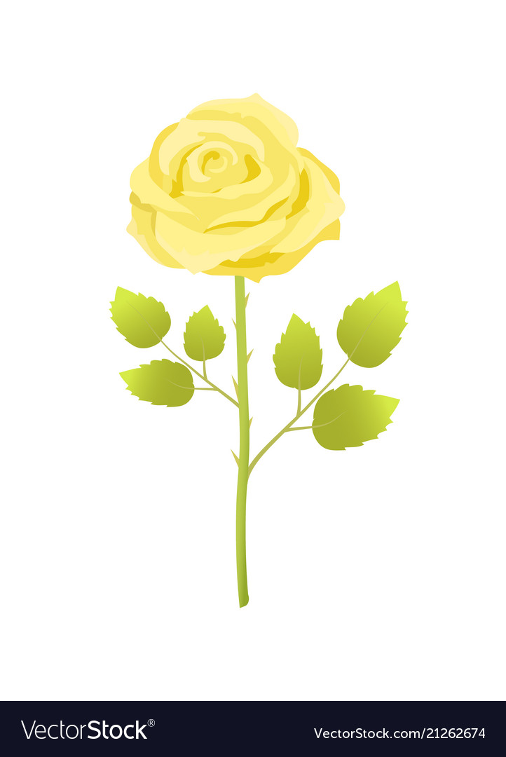 Yellow rose flower with green leaves on long stem
