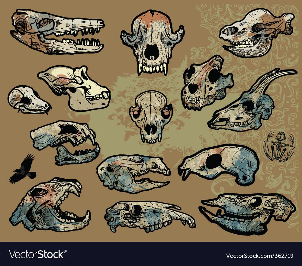 Animal skulls vector image
