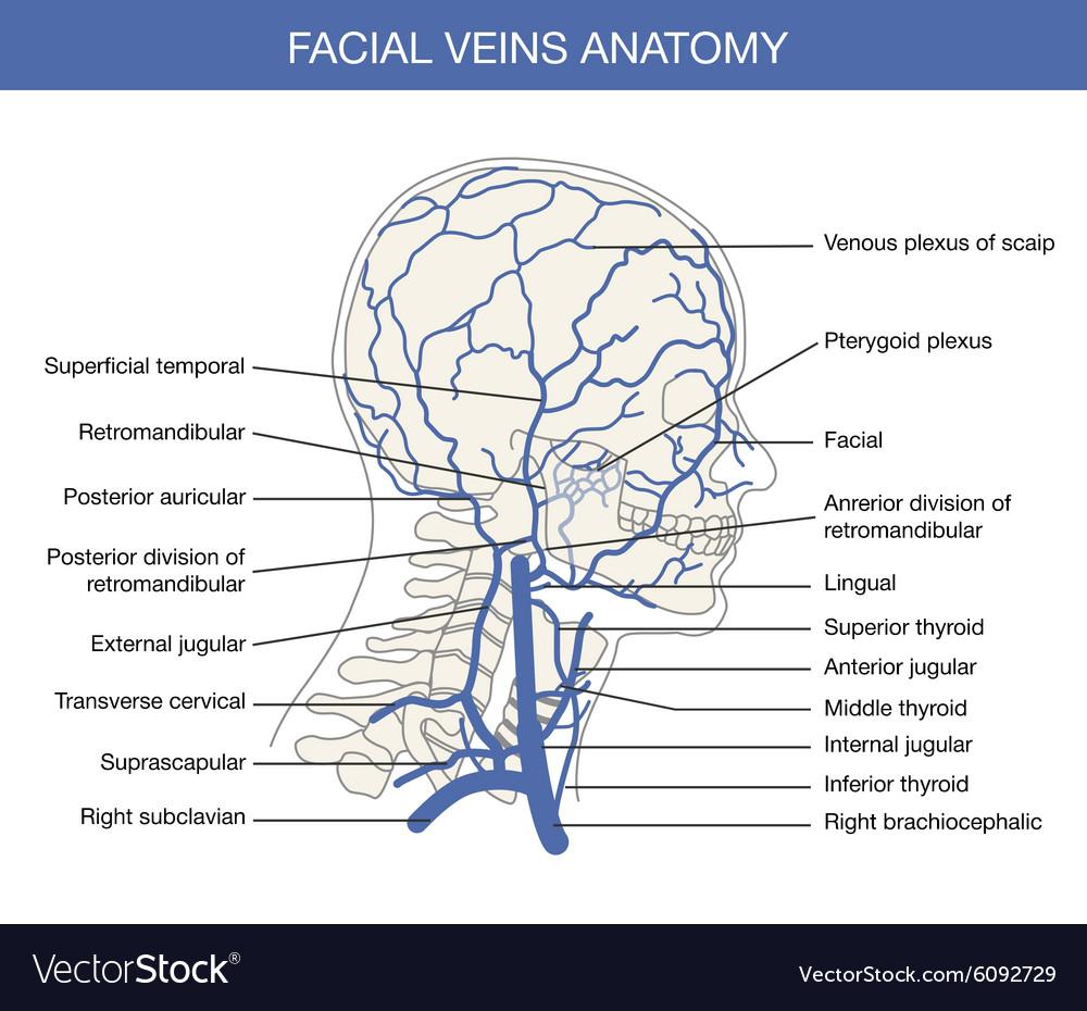 Human facial vein in Royalty Free Vector Image
