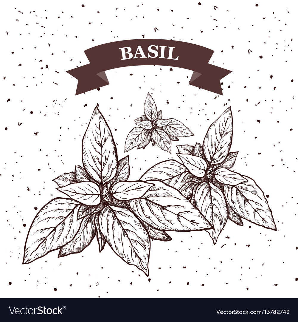 Basil herb and spice label engraving
