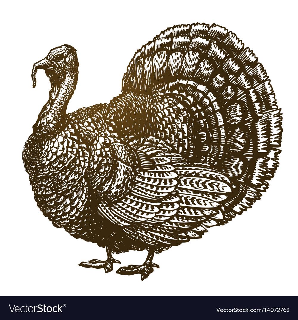 Hand drawn turkey bird farm animal poultry