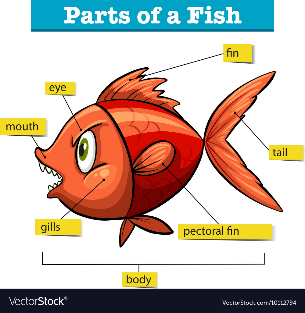 Diagram showing parts of fish Royalty Free Vector Image