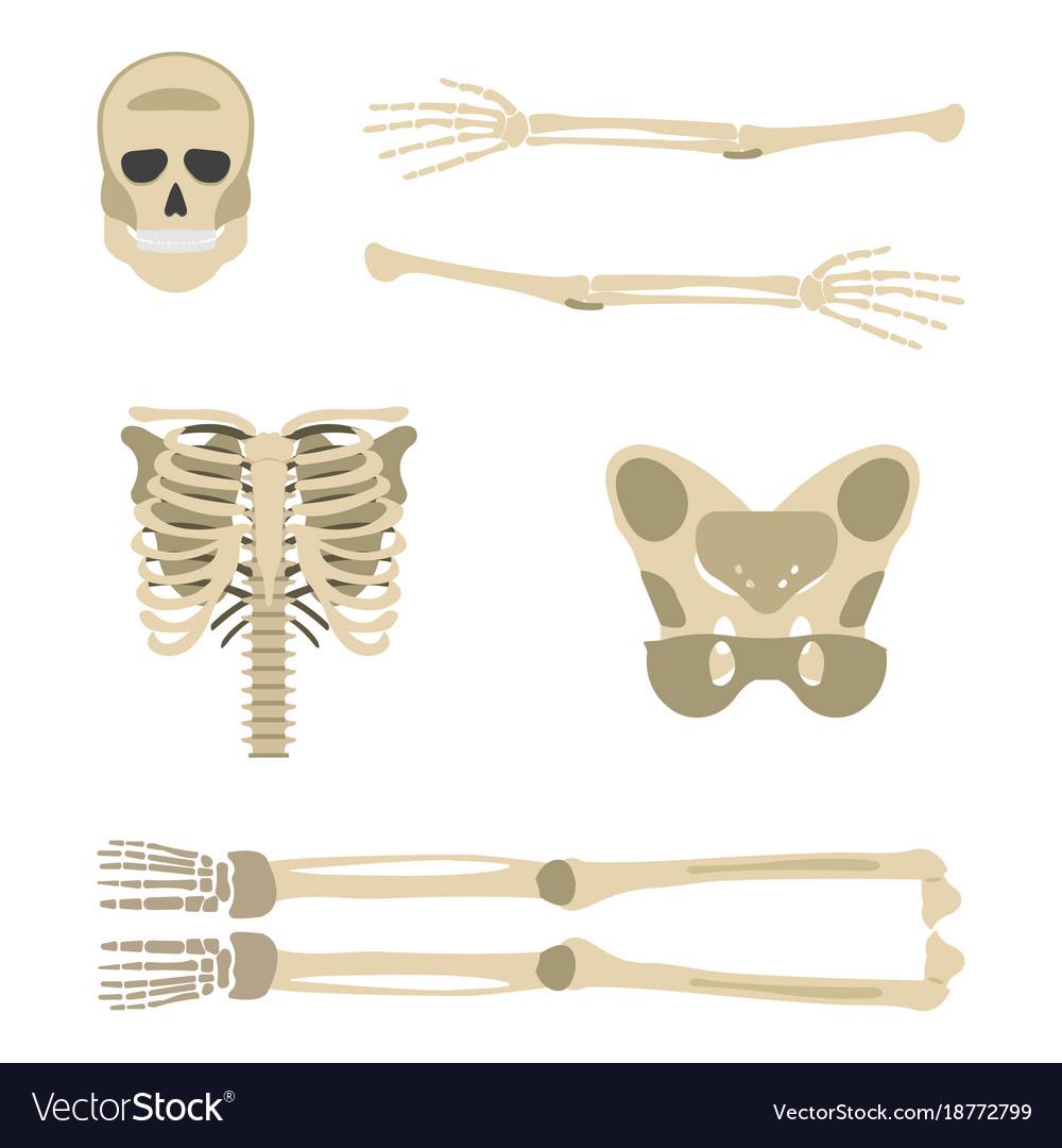 Skeleton parts icon human skeleton front side Vector Image