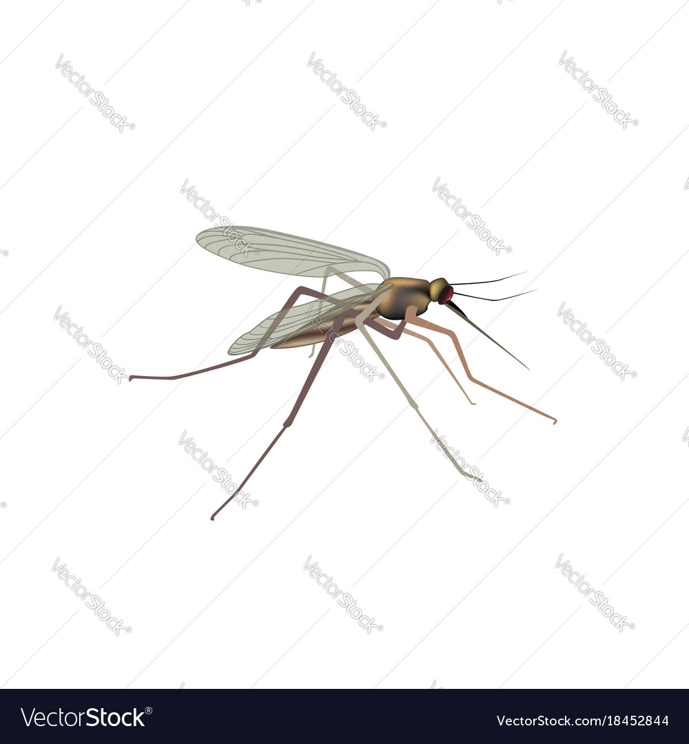 Mosquito isolated gnat insect macro view Vector Image