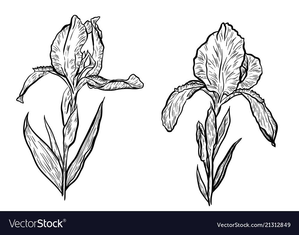 Hand-drawn iris set in on white background