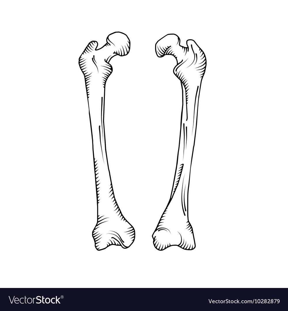Hand Drawn Realistic Human Bones Royalty Free Vector Image