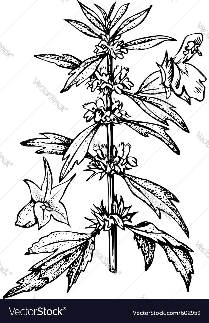 Plant leonurus
