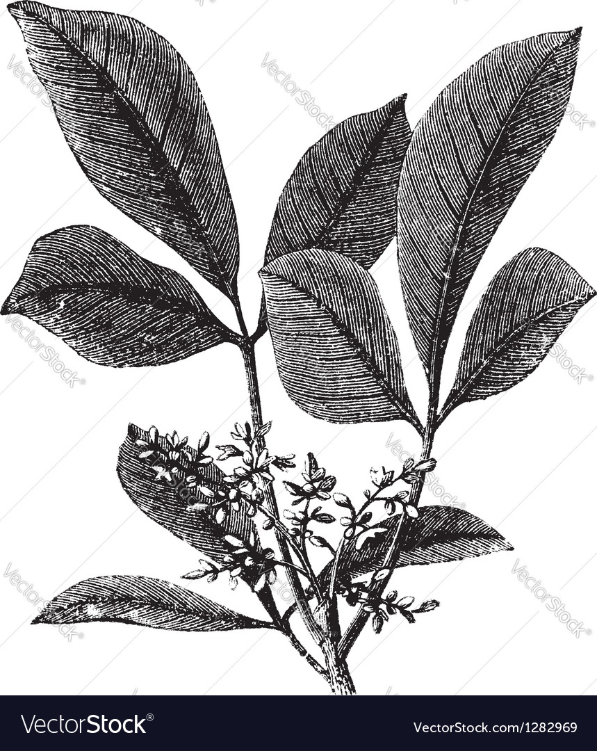 Vintage gum tree vector image