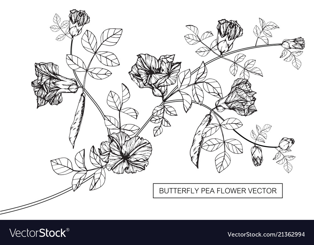 Butterfly pea flower drawing