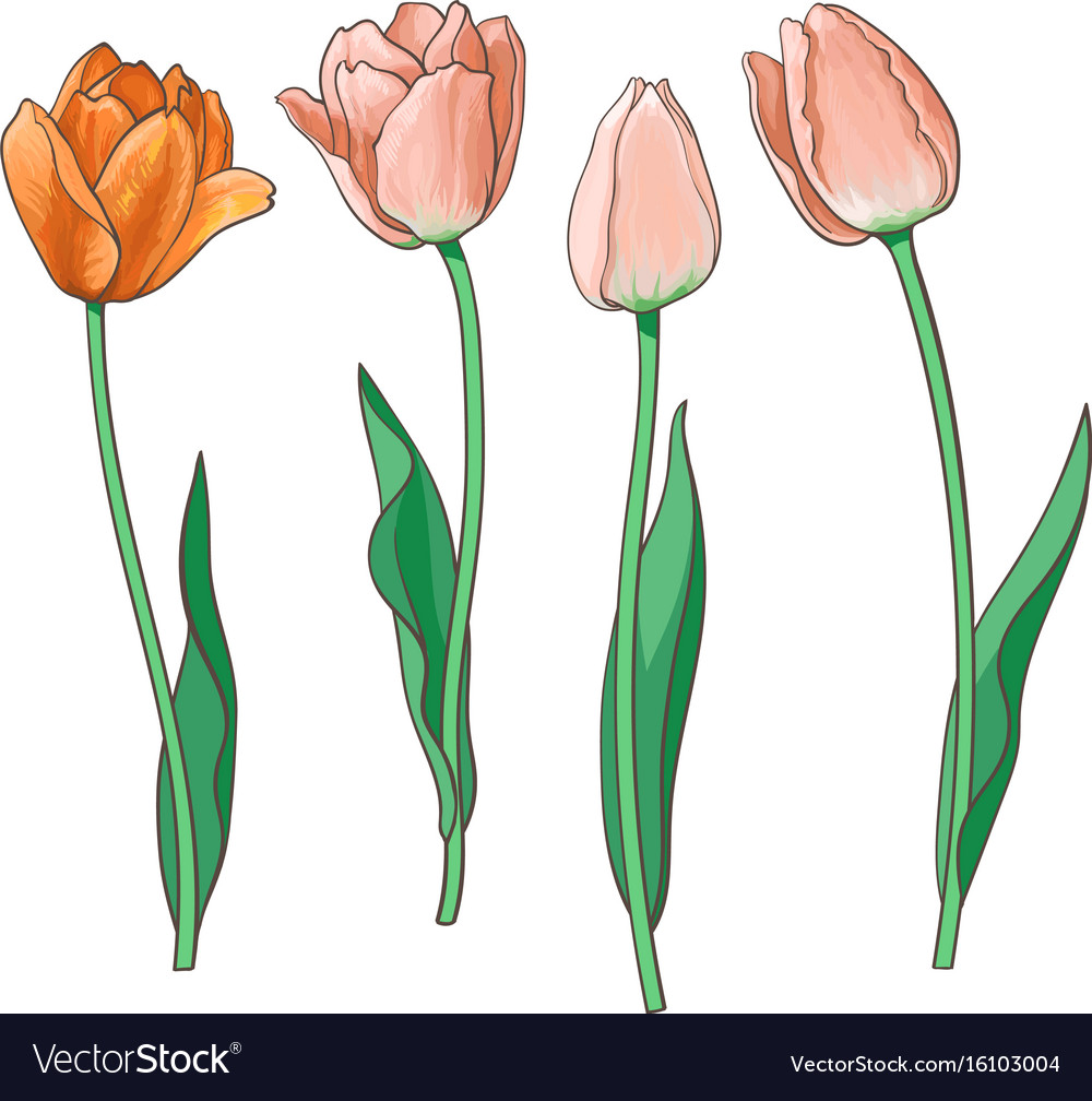 Hand drawn set of side view red pink tulip flower