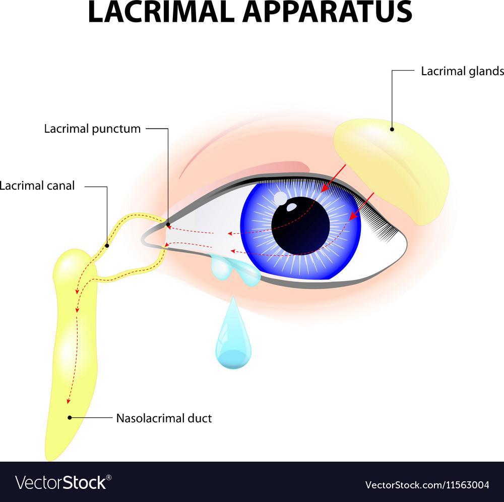 Lacrimal Apparatus Royalty Free Vector Image - VectorStock
