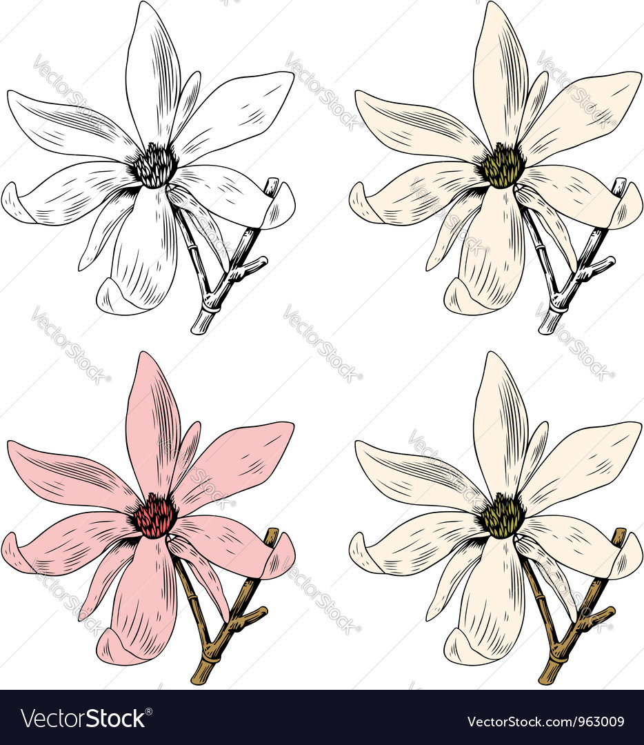 Flower Anise Magnolia vector image
