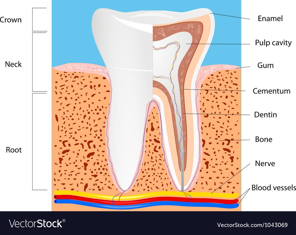 Tooth anatomy Royalty Free Vector Image - VectorStock
