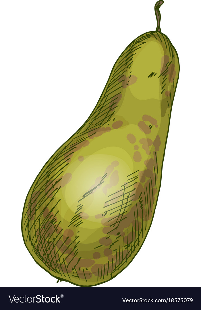 Conference pear full color realistic sketch
