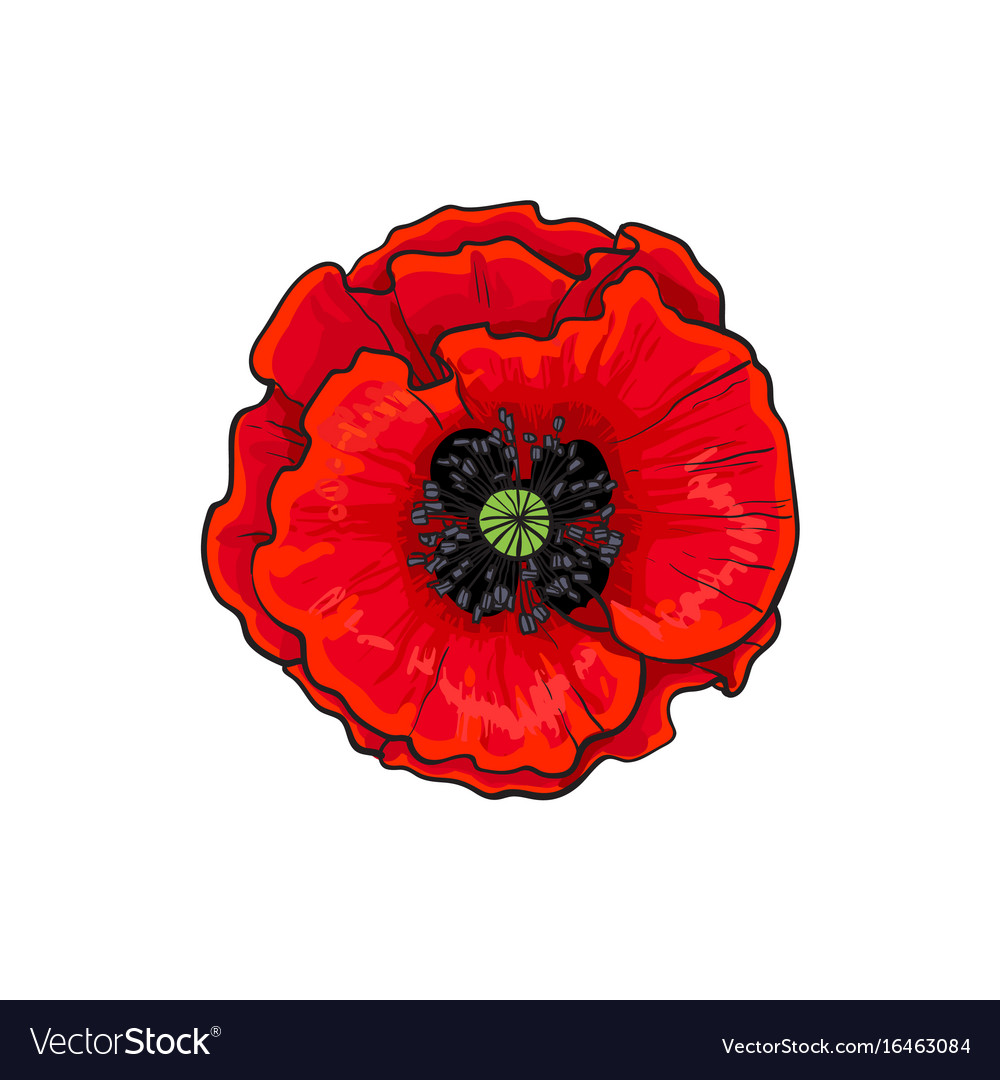 Red Poppy Flower Blossom Blooming Closeup Vector Image
