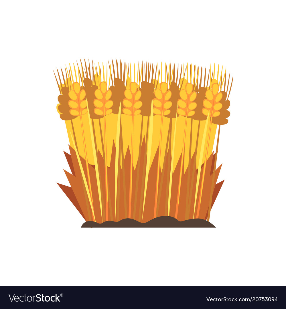 Field of ripe wheat design element for bakery vector image