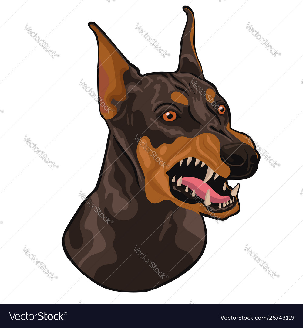Head a barking doberman isolated on a white