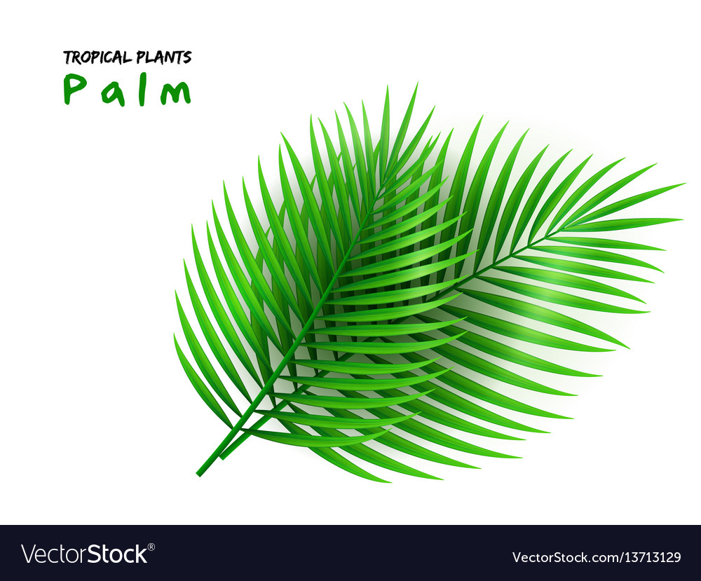 Isolated realistic palm