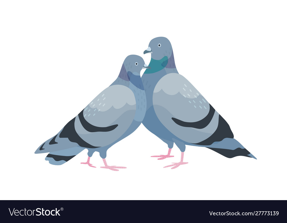 Cute couple pigeons female and male birds in