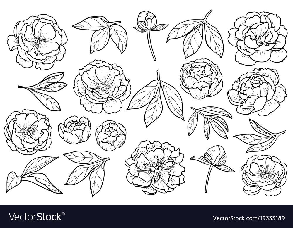 Peony flowers and leaves set