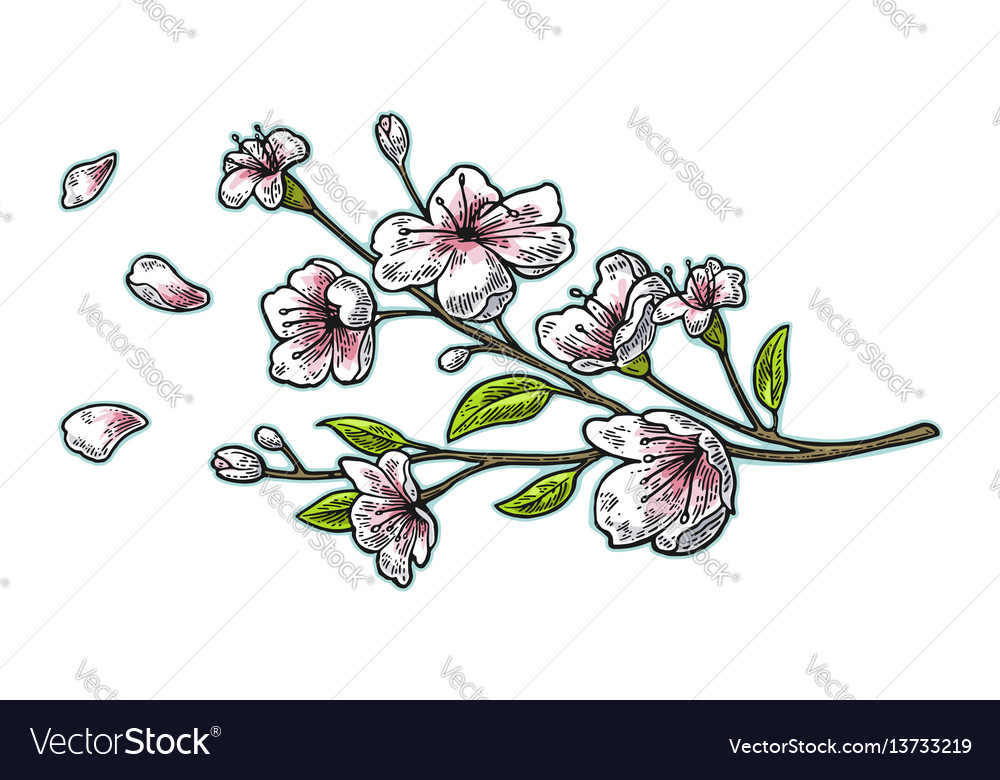 Sakura blossom cherry branch with flowers and bud