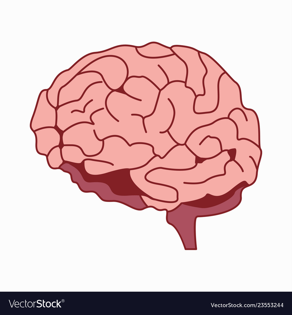 Medically accurate of the brain
