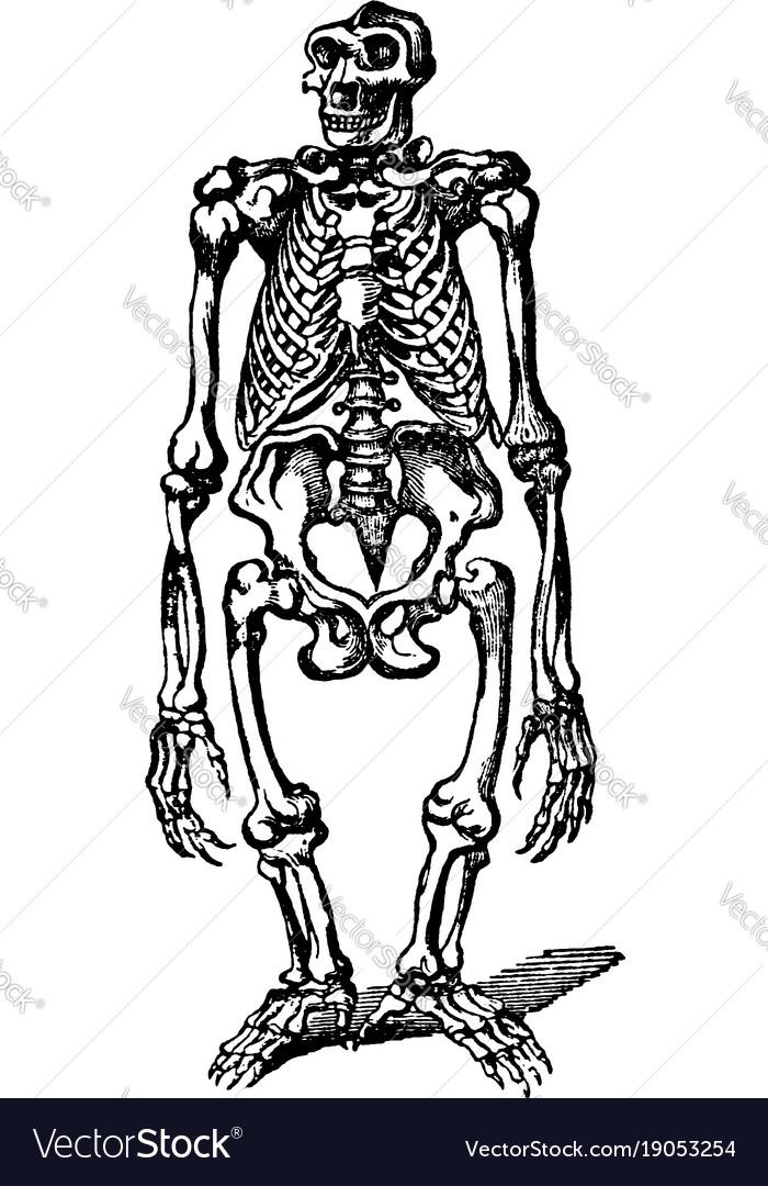 Gorilla skeleton vintage Royalty Free Vector Image