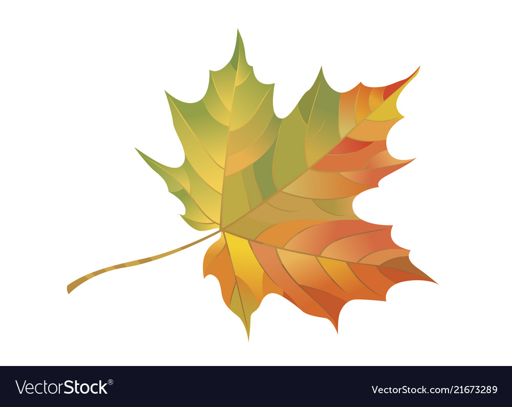 Colorful maple leaf isolated on a white