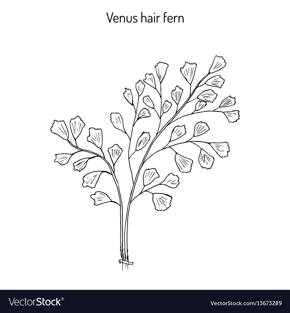 Southern maidenhair fern