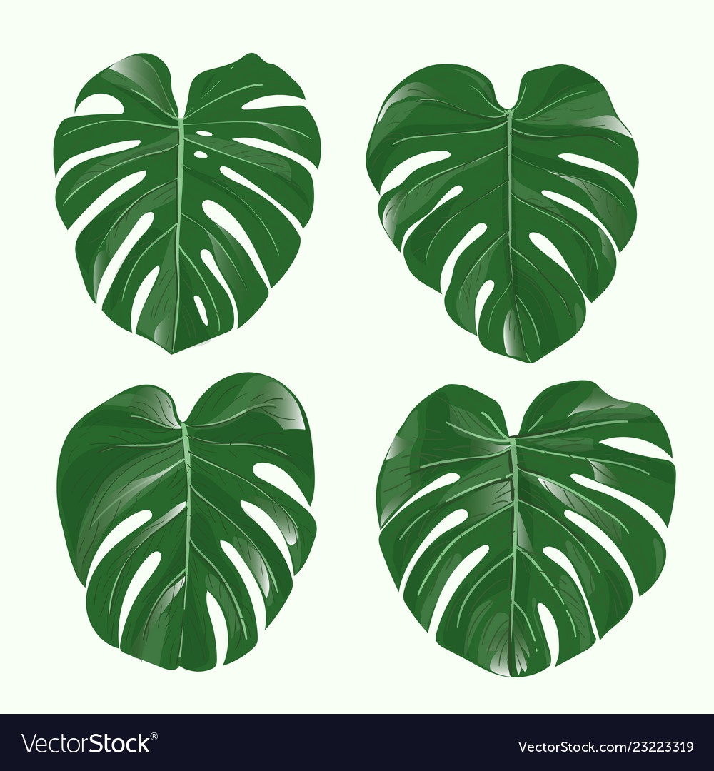 Monstera Plant Leaves Royalty Free Vector Image